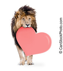 Lion Carrying Valentines Day Heart - African male lion ...