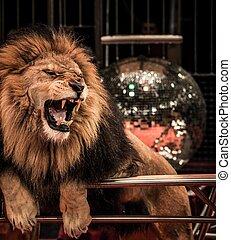 lion, cirque, rugir, gros plan, magnifique, arène, coup