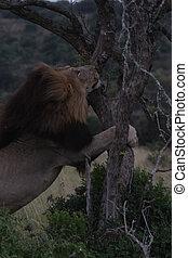 Lion Climbing a Tree
