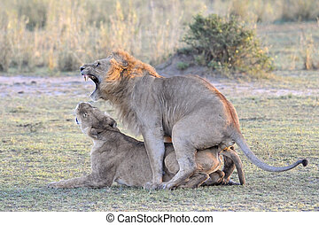 lion, couple, mating.