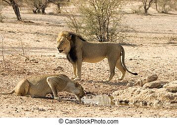 lion, couple