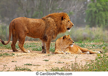 lion, couple