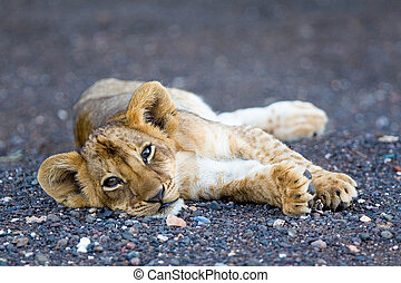 Lion cub - A tiny lion cub lying in the sand looking...