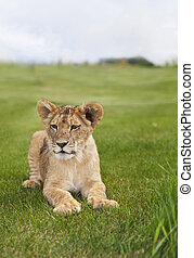 Lion Cub
