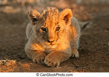 Lion cub - A young lion cub lying down in early morning ...