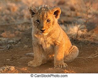 Lion cub - A young lion cub sitting