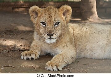 Lion Cub - Cute lion cub from Africa resting on the ground