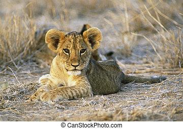 Lion Cub - Eight week old Lion cub (Panthera leo) Masia Mara...