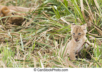 Lion cub in front of lioness
