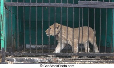 Big wild cats behind bars - Lion cub is not free in small ...