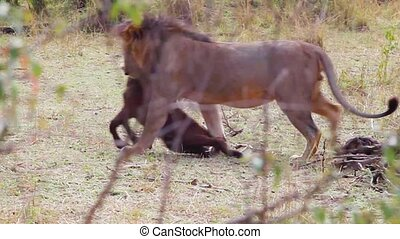 Lion cub killed wildebeest and drags him into the bushes.