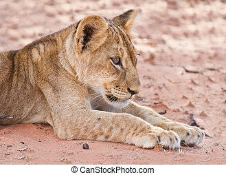 Lion cub lay on brown sand