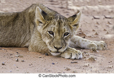 Lion cub lay on sand