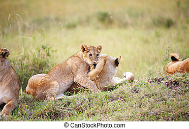 Lion cub (panthera leo) close-up