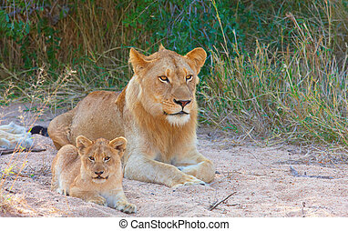 Lion cub (panthera leo) in a pride