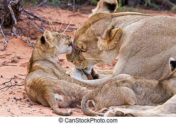 Lion cub play with mother on sand with love