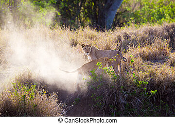 Lion cub playing in Serengeti
