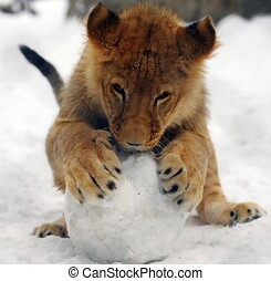 Lion cub playing with a snowball