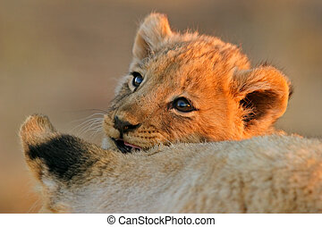 Lion cub - Portrait of a young African lion cub (Panthera...