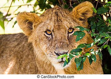 Lion cub resting in the shade in the Masai Mara.