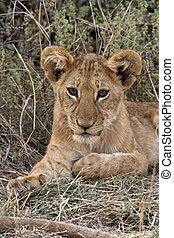 Lion cub - Savuti region of Botswana