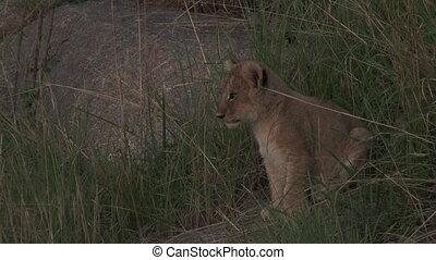 Lion cub sitting between grass