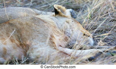 Lion cub sleeping after meal in Africa - Lion cub sleeps and...