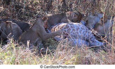 Lion cubs attempt to eat a giraffe killed by their mother. Their teeth are not strong enough to break the skin.