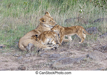 Lioness suckle and licking her two three month old cubs while resting along road in Masai Mara National Park, Kenya