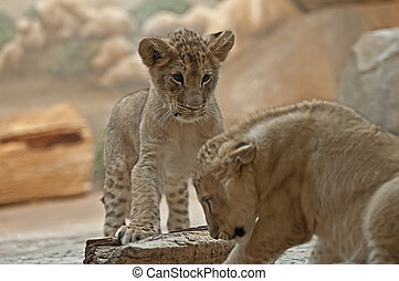 Lion Cubs - Little Lion looking at his brother from above...