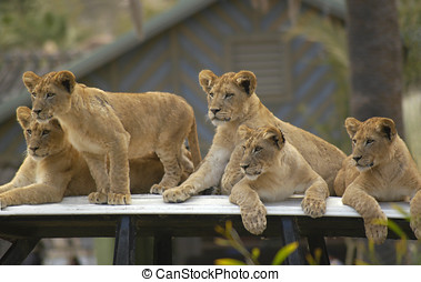 Lion Cubs waiting for their mother to come back.