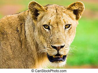lion, dévisager