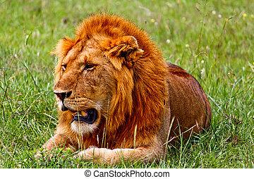 lion, dans, les, kenya