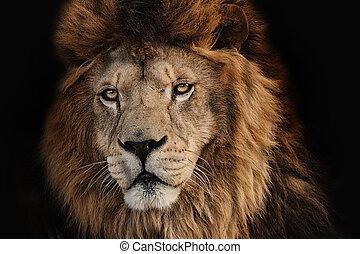 lion desert on a black background