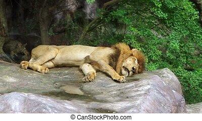 lion, dormir