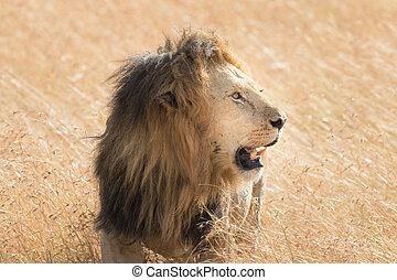 Lion Eating a Prey in Masai mara