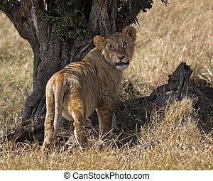Lion enjoying shadow