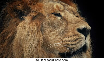 Lion Face Closeup With Dark Background - Closeup of a big...