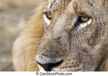 lion face no 2