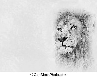 Lion Face on Card Banner - Black and White Image of Lion...