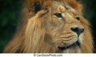 Lion Face Portrait - Closeup of a big male lion looking...