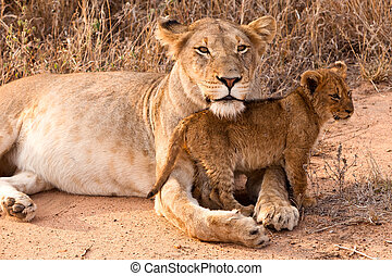Lion family resting in the grass