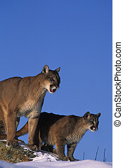 Lion Female and Kitten - a mountain lion feamle stands with ...