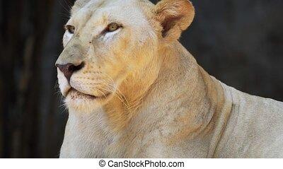 lion, femme, reposer