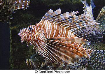 Lion Fish - A brown and white lion fish