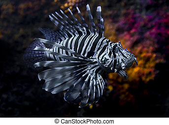 Lion fish - Colorful lion fish swimming in tropical water