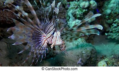 Lion fish. Diving in the Red sea near Egypt. 4K