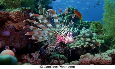 Lion fish. Diving in the Red sea near Egypt.