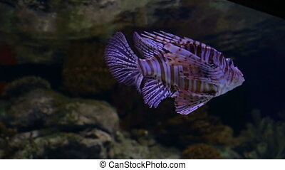 Lion fish gracefully swimming in aquarium in Lisbon...