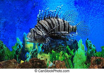 Lion fish in aquarium with blue backgroun